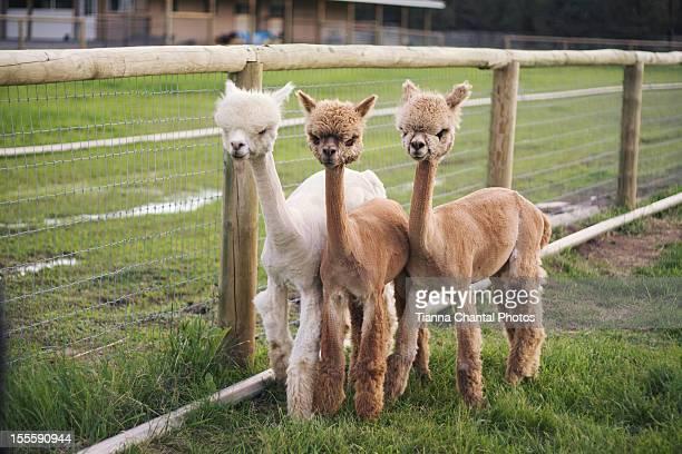 Three Alpacas Posing For The Camera