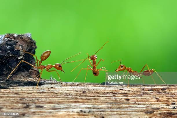 Three ants on log, Indonesia