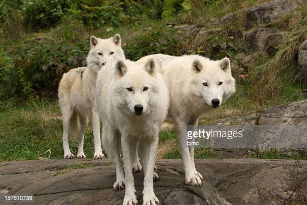 Three Arctic Wolves in Autumn