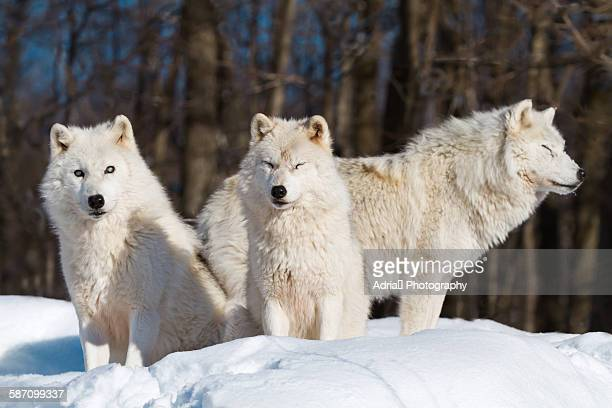 Three arctic wolves