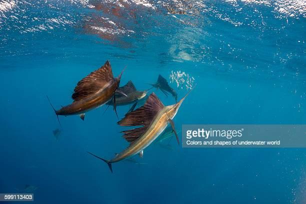 Three Atlantic Sailfish attacks baitball of fish