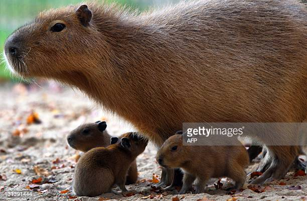 Three baby capybaras are accompanied by their mother as they explore their enclosure on November 3 2011 at the zoo in Schwerin northeastern Germany...