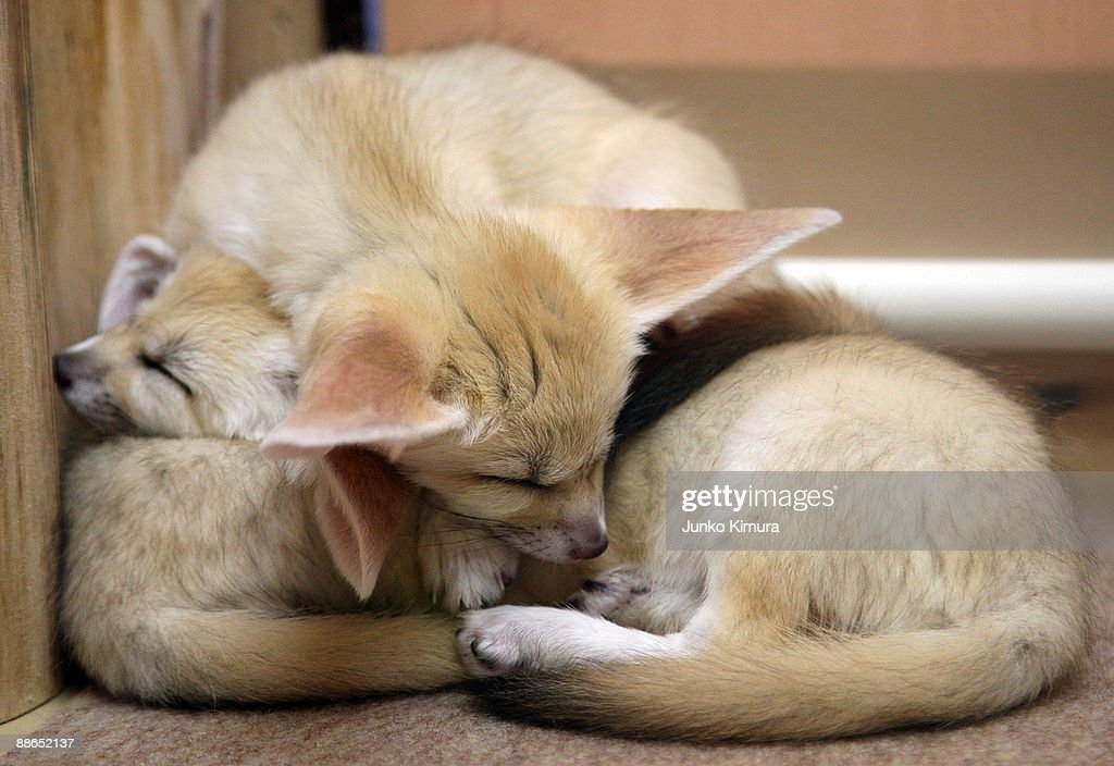 Three baby Fennecs sleep on one another at Sunshine International Aquarium on June 24, 2009 in Tokyo, Japan. The small nocturnal fox babies were born on May 17 and opened to the public from June 20 attracting many visitors to the Aquarium.