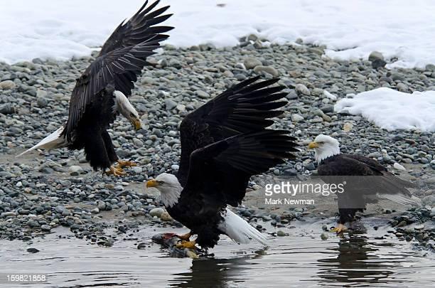 Three bald eagles disputing a fish