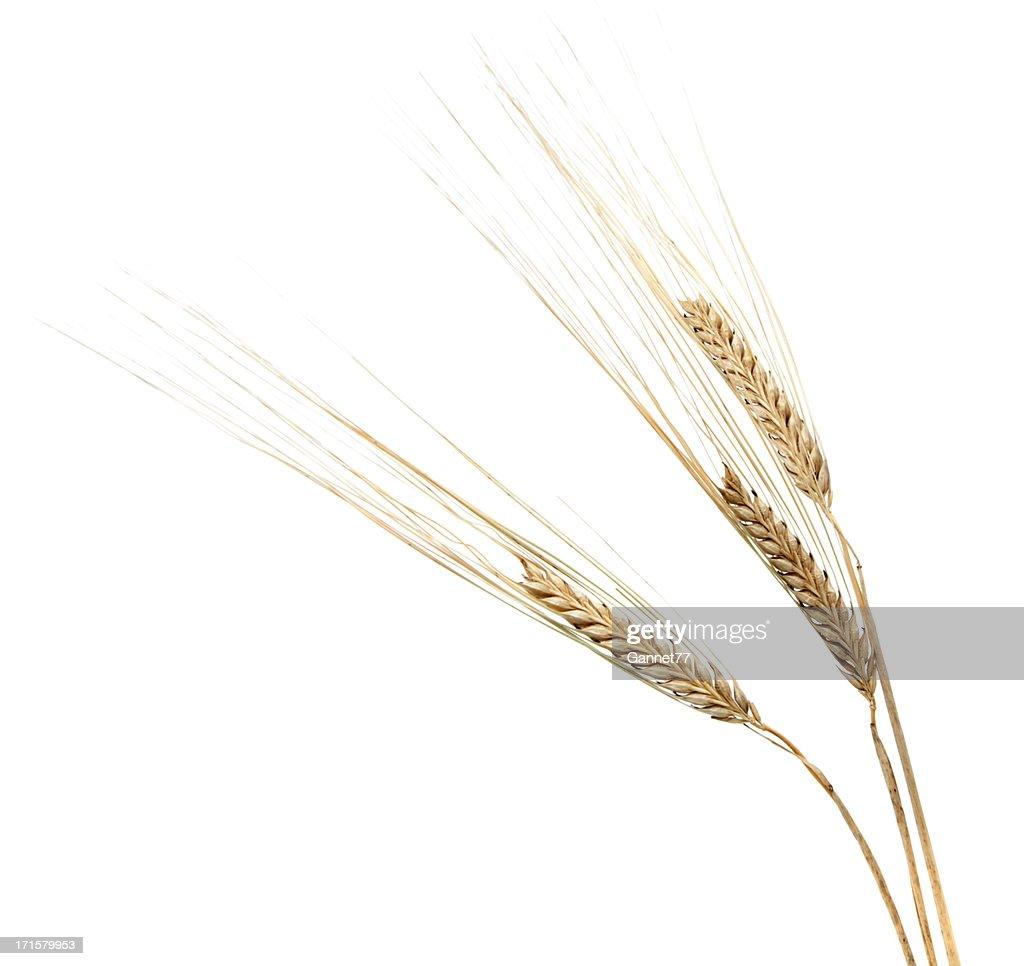 Three Barley Ears on White