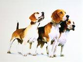 Three beagles against white background (Digital Enhancement)