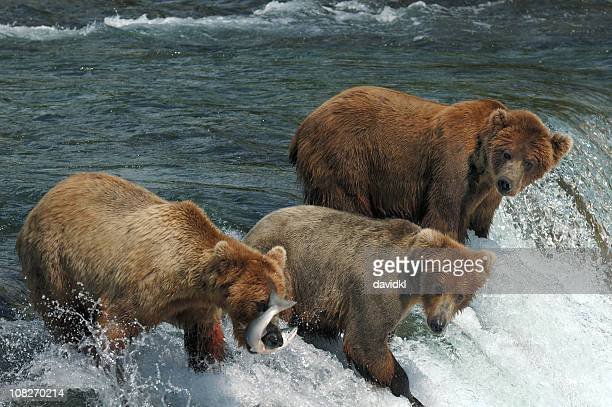Three bears compete for catching salmon at waterfall