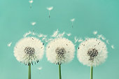Three beautiful dandelion flowers with flying feathers on turquoise background. Vintage style.