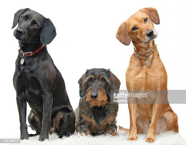 Three beautiful dogs sitting adorably in a line