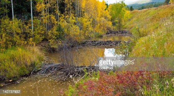 Three beaver dams lon a river in Autumn : Stock Photo