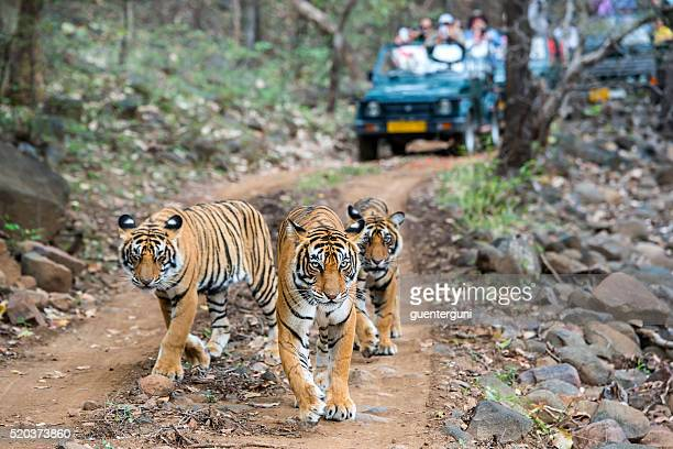 Three bengal tigers in front of tourist car