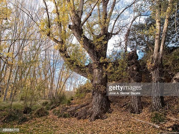 Three big old poplars in spring in a ravine