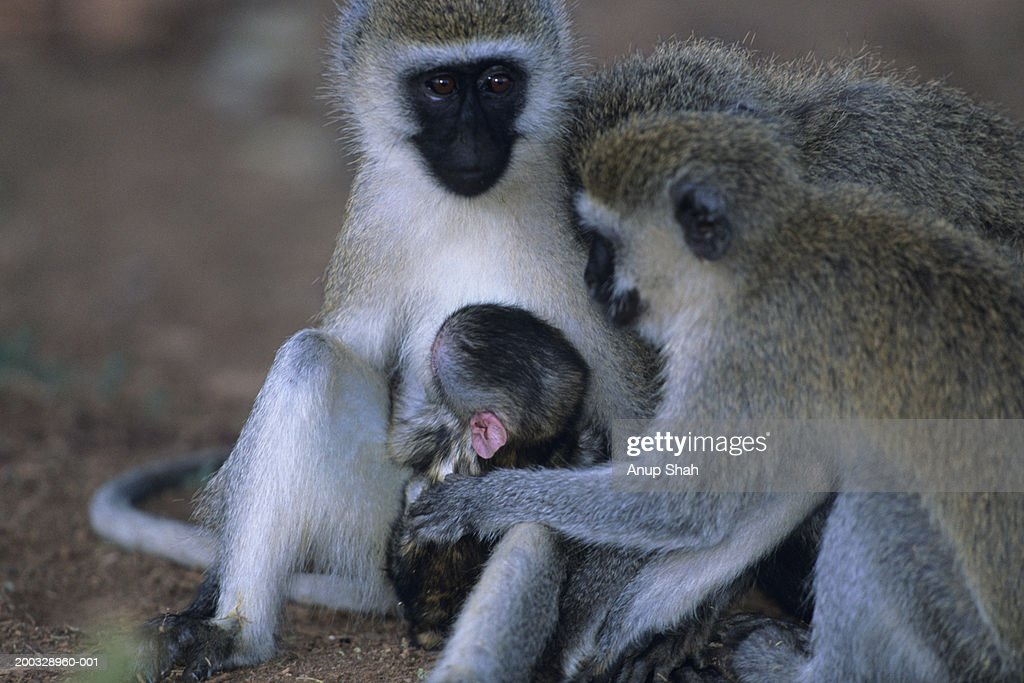 Three black-faced vervets (Cercopithecus aethiops), with young, Kenya : Stock Photo