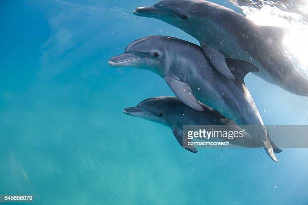 Three bottlenose dolphins swimming in sea, Ponta do Ouro, Mozambique
