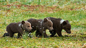Three little brown bear cubs walking in a row in the taiga from Finland