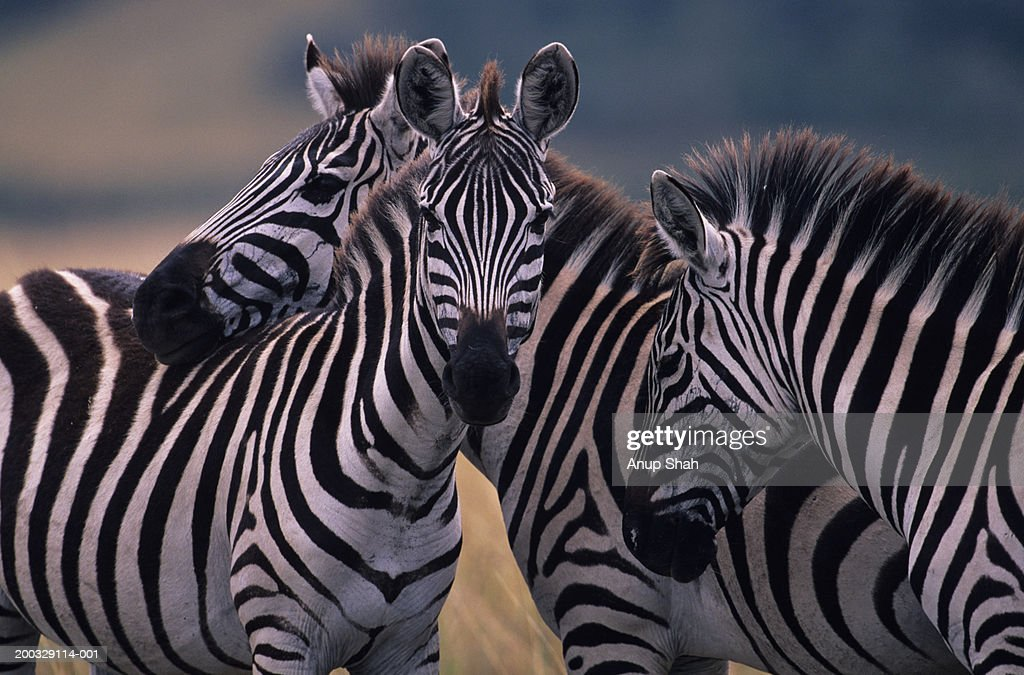Three Burchell's zebras (Equus burchelli) huddling together, Kenya : Stock Photo