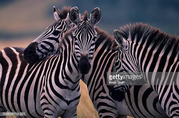 Three Burchell's zebras (Equus burchelli) huddling together, Kenya