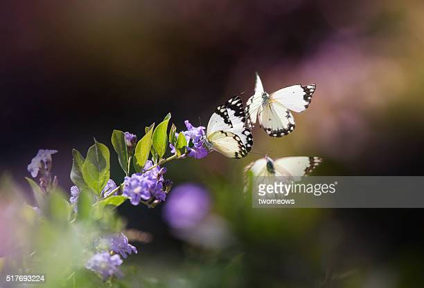 Three butterflies stop on purple flower on soft blurred background.