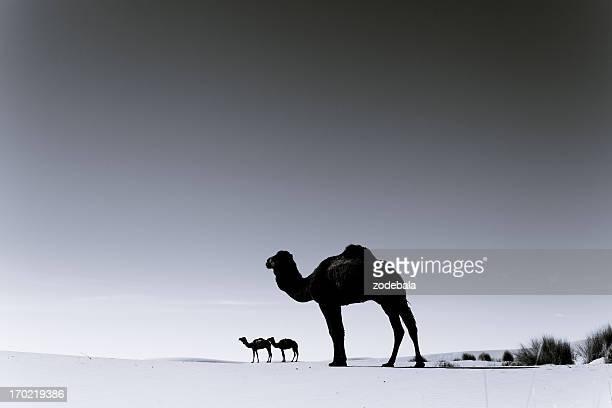 Trois de chameaux dans le désert du Sahara, noir et blanc