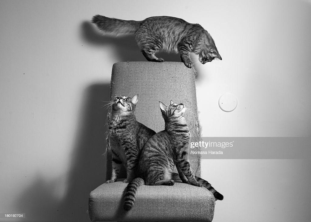 Three cats on the chair : Stock Photo