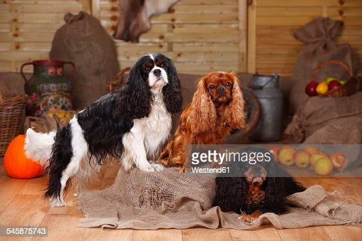 Three Cavalier King Charles Spaniel on jute in front of peasant decoration