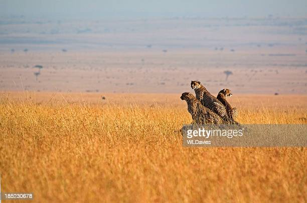 Three cheetah in open plains