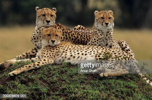 Three cheetahs (Acinonyx jubatus), lying on savannah, Kenya : Stock-Foto
