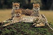 Three cheetahs (Acinonyx jubatus), lying on savannah, Kenya