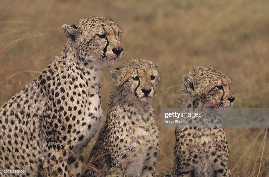 Three cheetahs (Acinonyx jubatus), sitting side by side on savannah, Kenya : Stock Photo