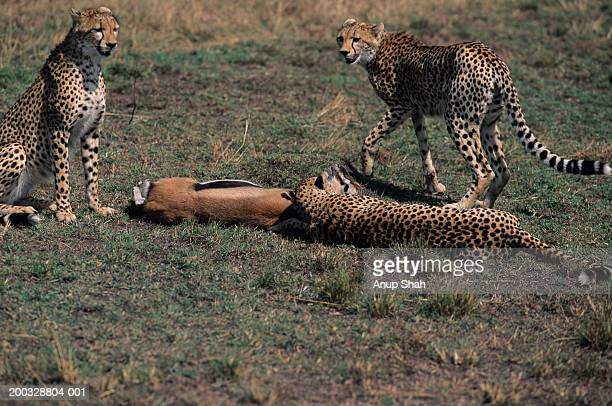 Three cheetahs (Acinonyx jubatus) surrounding carrion on savannah, Kenya