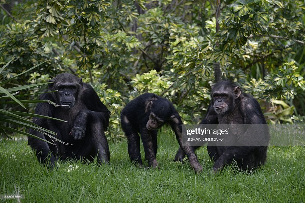 Three chimpanzees are seen in a new enclosure at the Aurora zoo in Guatemala City on May 24, 2016. La Aurora Zoo inaugurated Tuesday an enclosure to house a family of six chimpanzees donated by Sweden, reported the park managers. / AFP / JOHAN