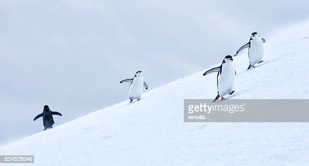 Three Chinstrap penguins walking in snow in Antarticta