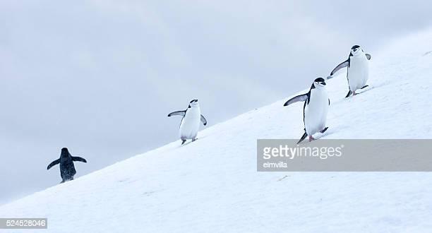 Drei Kinnriemen Pinguine zu Fuß auf Schnee im Antarticta