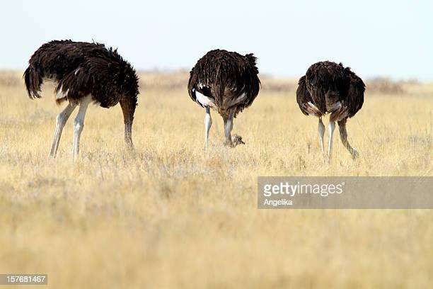 Tres Ostrichs común, parque nacional de Etosha, Namibia