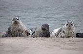 Three Common Seals -Phoca vitulina- on the beach, Duene island, Helgoland, Schleswig-Holstein, Germany