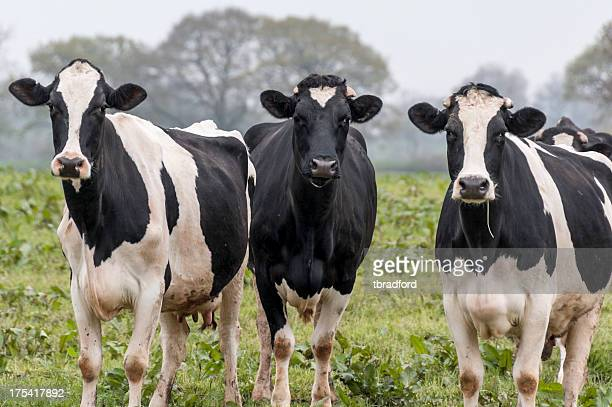 Three cows in a field gazing at camera