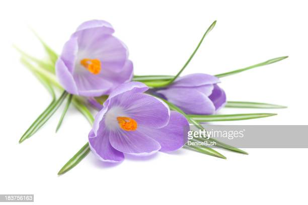 Three Crocus on White