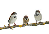 three cute birds Sparrow on white isolated background on a tree branch