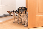 Three cute dogs are looking in to the door - Jack Russell Terrier