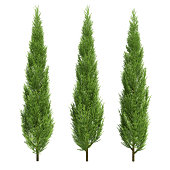 three  3d cypress on white background