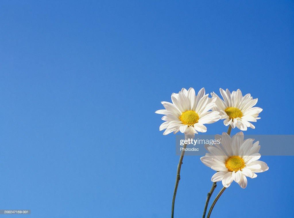 Three daisies against blue sky