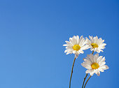 Three daisies against blue sky