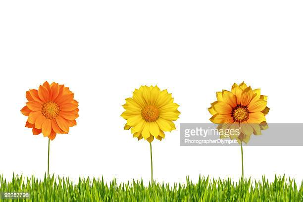Three daisies isolated on grass XXL.