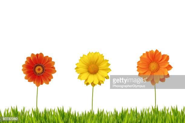 Drei Gänseblümchen im Gras Isoliert