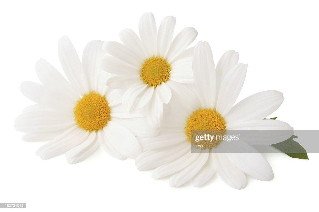 Drei Daisys Isoliert : Stock-Foto