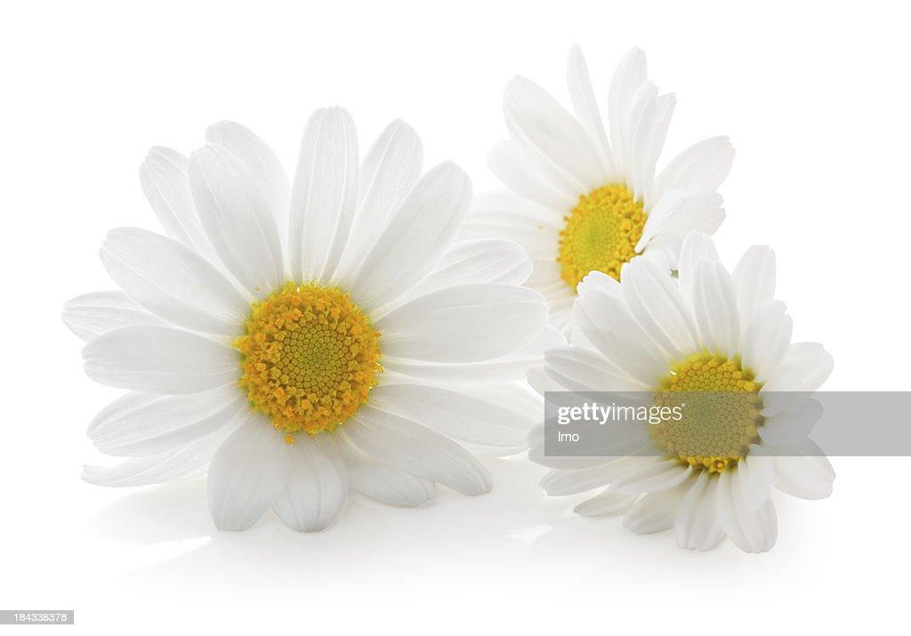 Three Daisys isolated.