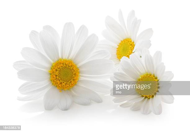 Three Daisys isolated.