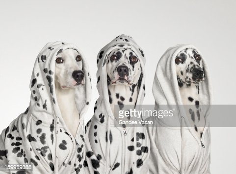 Three Dalmations wearing Hoodies : Stock Photo