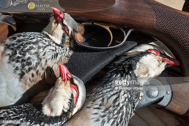 Three dead red-legged partridges