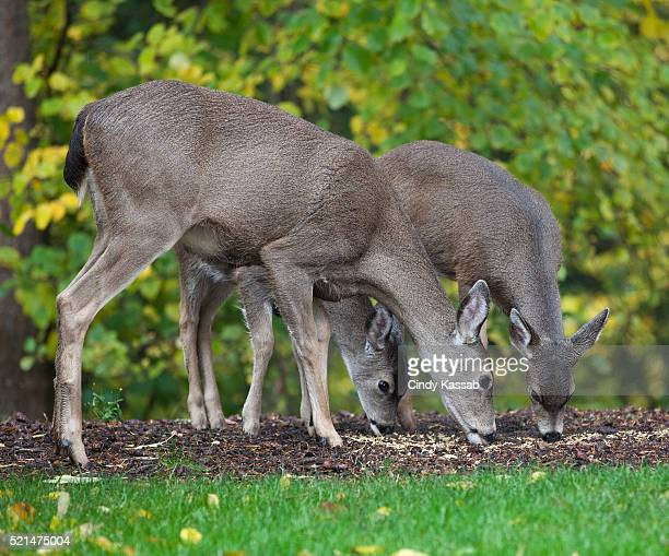 Three Deer Grazing